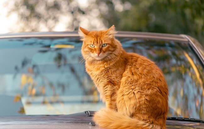 Cat sitting on a car